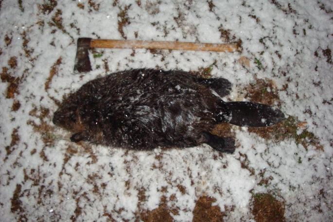 More Beaver